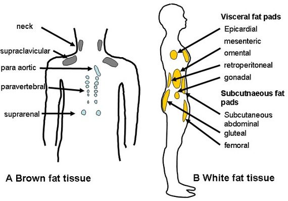 brown vs white fat tissue diagram
