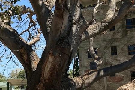 400 year old parota tree in Bucerias Mexico