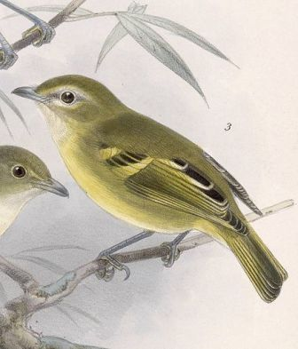 Yellow winged vireo