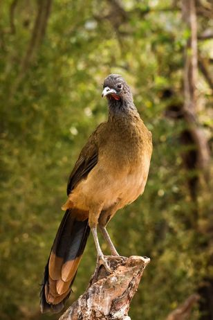 Chachalaca