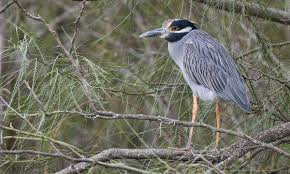yellow crowned night heron at rest
