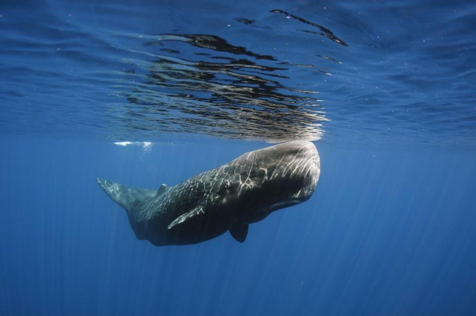 Sperm whale vomit