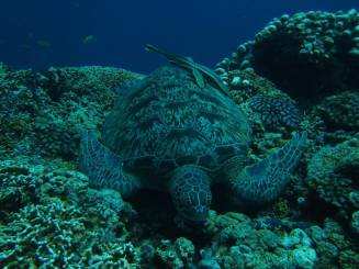 diving with turtles in Thailand