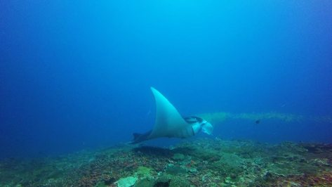 manta ray in nusa lembongan indonesia scuba diving