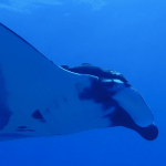 oceanic manta scsuba diving