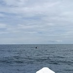 Bryde whale feeding seen from a boat