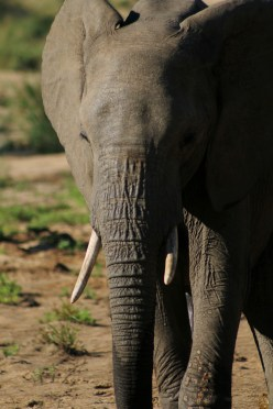 Africa elephant close up