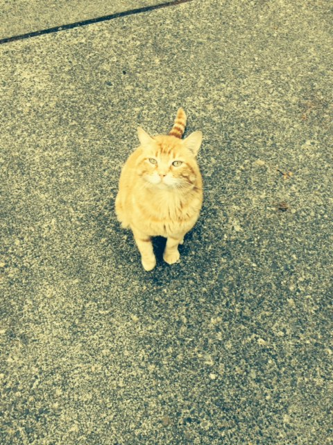 Orange Tabby found 4208 Beach Drive