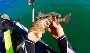 Mission Bay Spotted Bay Bass in hand 4-15-18