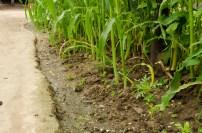 Corn In The Walkways