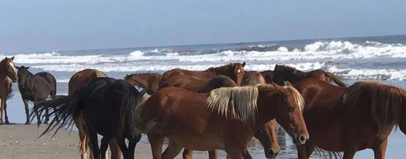 Wild Horses Outer Banks North Carolina