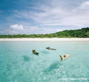 Three pigs swimming near the coast of the Exuma Islands