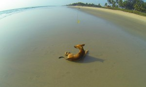 Brown beach dog lying in the wet sand in South Goa, India