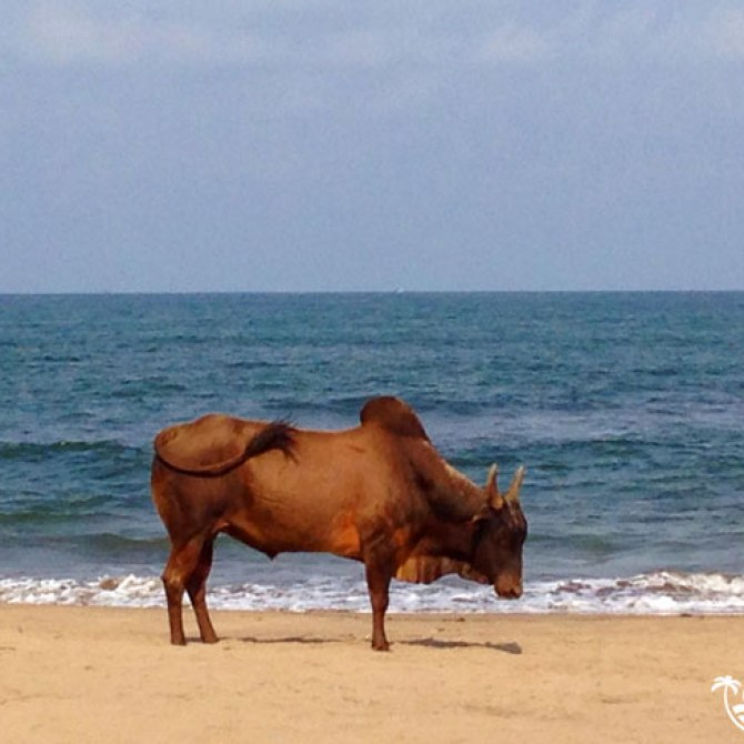 Cow on the beach in Goa, India