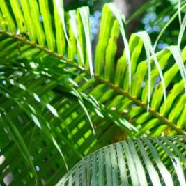 Sunshine falling on tropical green palm leaves