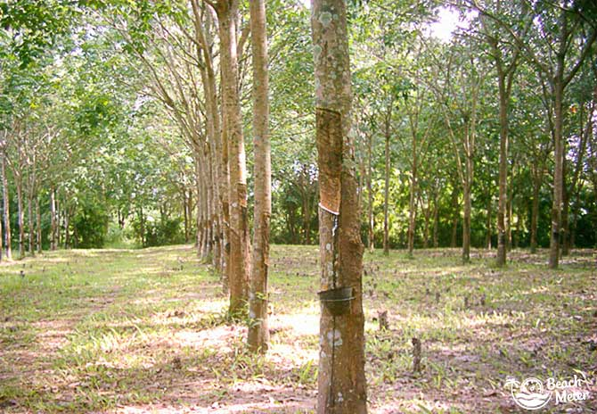 Rubber plantation in Thailand with small buckets gathering sap from the trees.
