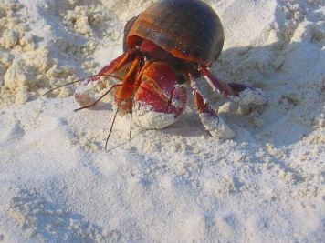 Hermit Crab in the silky smooth white sand