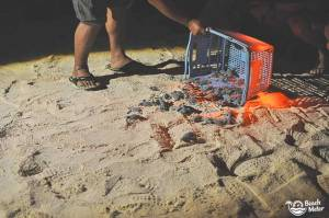 """Baby turtle hatchlings released on the beach on Selingan """"Turtle"""" Island in Borneo. Photo by Beachmeter.com."""