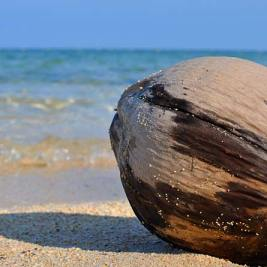 Coconut lying on the beach shore of Pulau Selingan, one of the Turtle Islands in the Sulu Sea. Photo by Beachmeter.com.