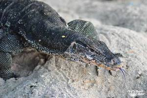 Water monitor lizard on the beach of Selingan Island in the Sulu Sea of Malaysia. Photo by Beachmeter.com.