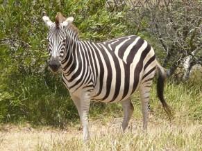 Beach Music, Jeffreys Bay, South Africa, Kragga Kamma Park, Zebra