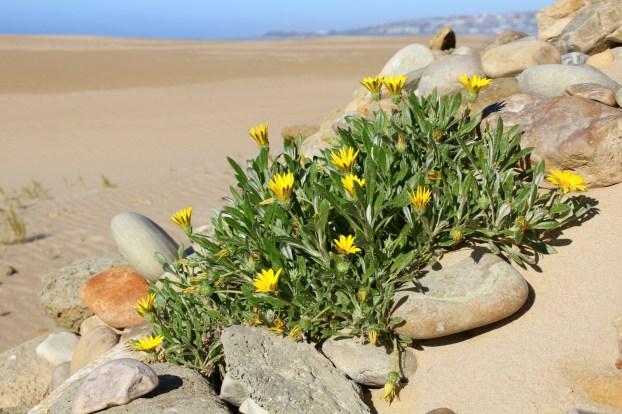Gazanias at the Kabeljaus beach.
