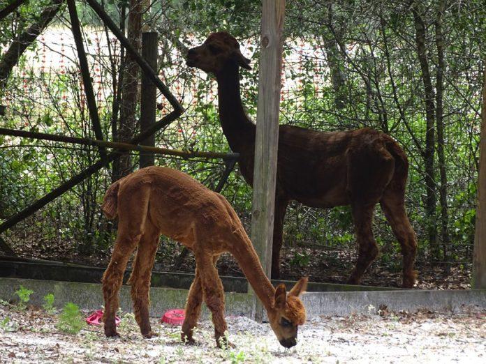 Aspiring to alpaca awesomeness: Lake Helen teen hopes to build a working herd
