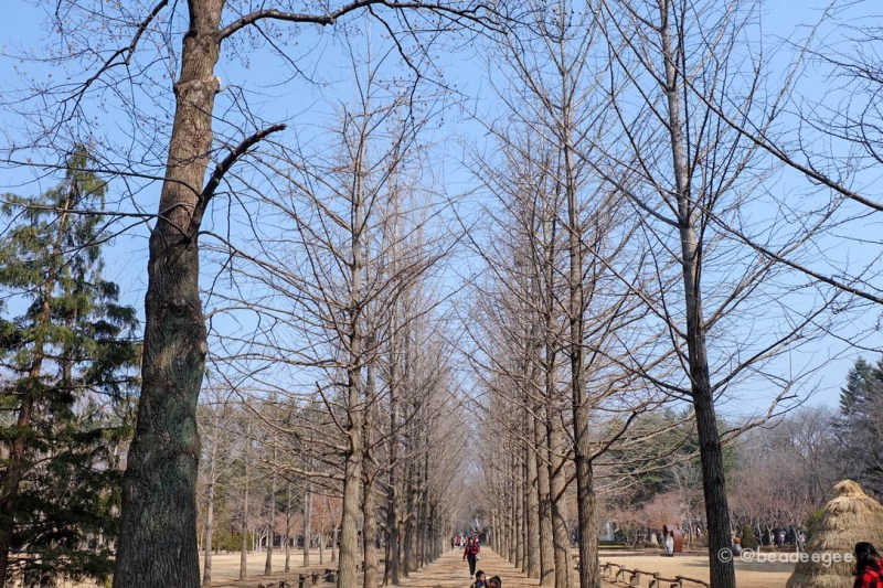 The winter leafless trees aligned beautifully in Nami Island