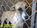 Charm: greyhound mix rescued from PACC