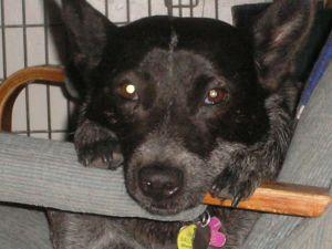 Sweet Winnie - cattle dog