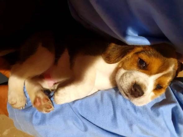 Why do beagles cuddle so much