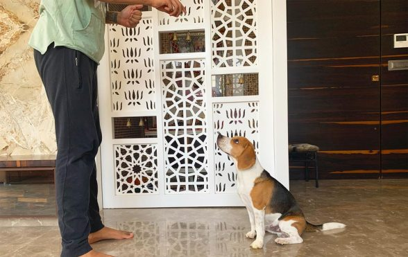Beagle sitting