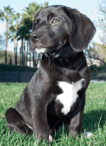beagle lab mix puppies