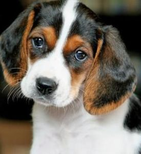 cute beagle lab mix