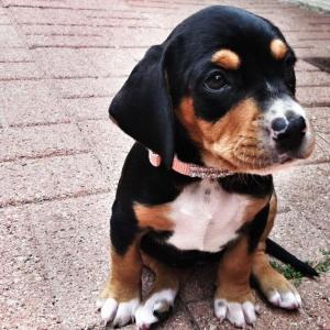 labrador beagle mix