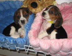 Bogle-Puppies