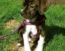 Boxer Beagle Mix