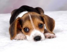 Beagle Chihuahua Mix Puppy