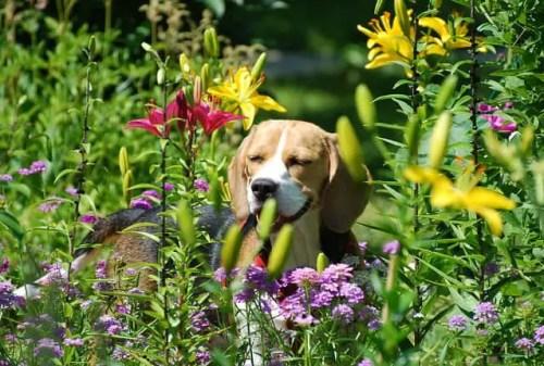 Beagle Sneeze