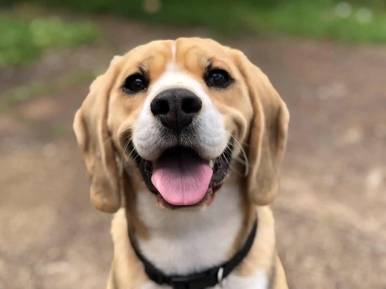 a beagle nem fog fogyni