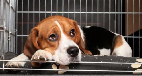 How To Potty Train A Beagle