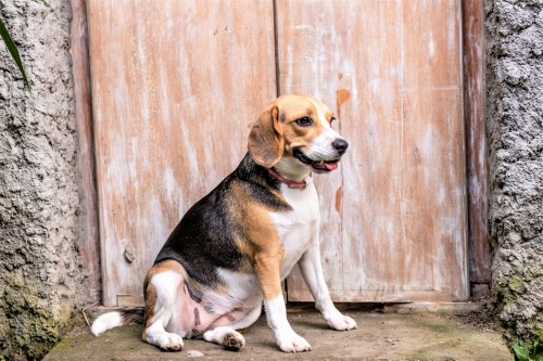 How To Train Your Beagle To Sit