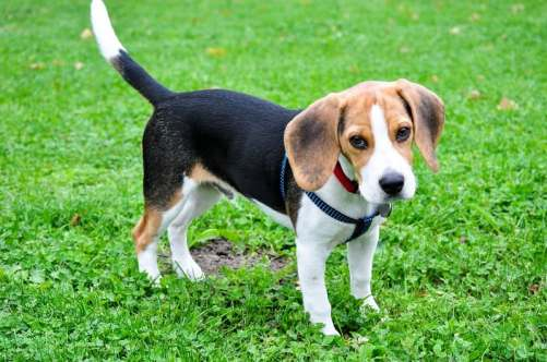 Why Do Beagles Get Fat