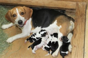 How Many Beagles In A Litter