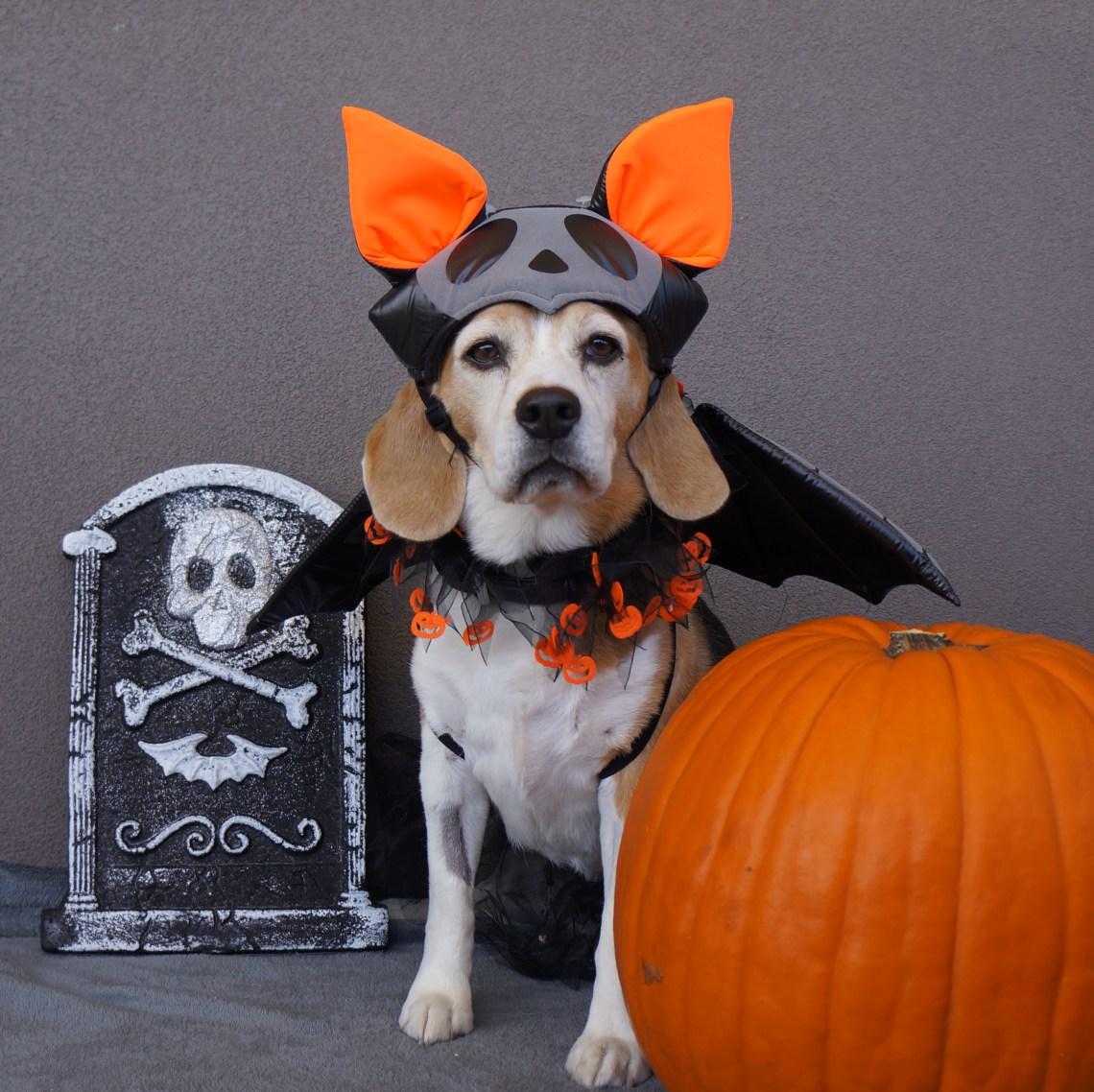 8 amazing halloween dog costume ideas perfect for beagles - beagleswoof