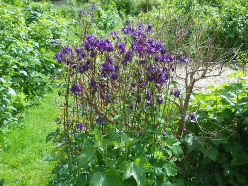 Aquilegia, Colunbine, at Bealtaine Cottage