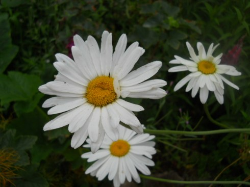Ox-eye daisy at Bealtaine Cottage Permaculture Gardens