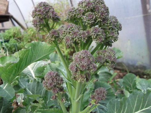 Purple Sprouting Broccoli grown at Bealtaine Cottage permaculture gardens