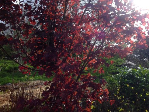 Red maple tree at Bealtaine Cottage