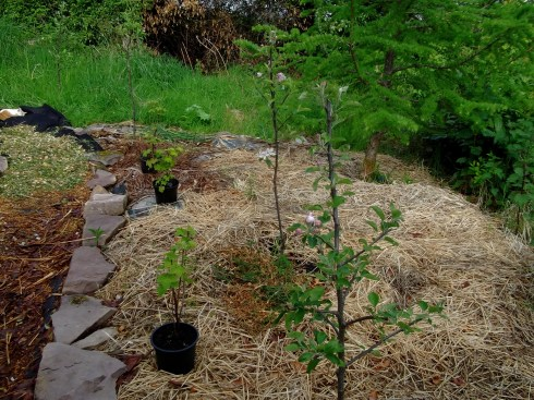New apple trees in the permaculture orchard